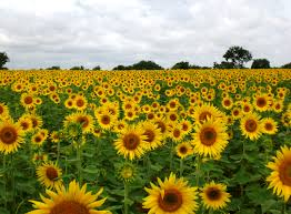 Sunflower field has a much larger meaning