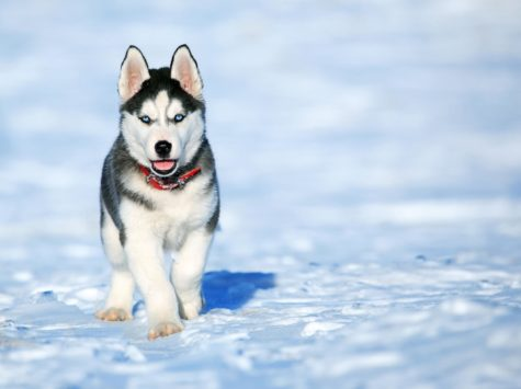 Reactions: Winter is coming; huskies are going